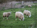 Three lambs in field one year old image of grazing a age approx Stock Images