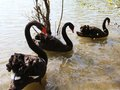 Three large Black Swans with thick plumage in the pond