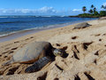 Three Large Green Sea Turtle sunbath Stock Photo