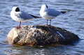 Three larus minutus on a rock gathered stone sleeping Stock Images