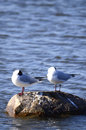 Three larus minutus on a rock gathered stone sleeping Stock Photos