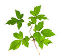 Three Leaves Poison Ivy Isolated Royalty Free Stock Photography