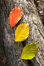 Three leaves. Red, green and yellow on tree's bark. Royalty Free Stock Photo