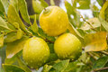 Three lemons horizontal photo photo took in new zealand Stock Image