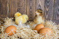 Three little chickens in a nest with eggs Stock Photography
