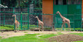 Three little giraffes at the zoo Royalty Free Stock Photo