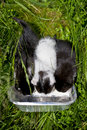 Three little kittens drining milk drink their from the container Royalty Free Stock Photos