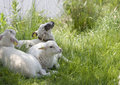 Three little lambs Royalty Free Stock Photos