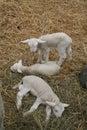 Three little lambs Royalty Free Stock Photo