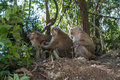 Three little monkeys in the jungle in Thailand Royalty Free Stock Photo
