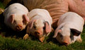 Three little pigs. Royalty Free Stock Photo