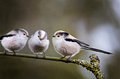 Three long tailed tits aegithalos caudatus sat on a branch as if in conversation Stock Images