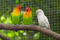Three lovebirds birds on a branch Stock Photo