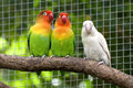 Three lovebirds birds on a branch Royalty Free Stock Image