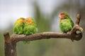 Three lovebirds on a branch sitting Stock Image