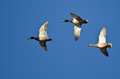 Three mallard ducks flying in a blue sky clear Stock Image