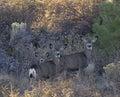 Three Mule Deer Foraging in Weeds Royalty Free Stock Photos