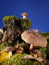 Three mushrooms bay boletus growing in the forest Stock Photos