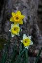 Three Narcissus Royalty Free Stock Photo