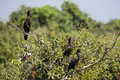 Three neotropical cormorants perched on bushes or olivaceous with jungle and sky blurred in background Stock Images