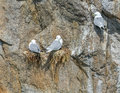 Three nesting seagulls on rockwall Royalty Free Stock Photo