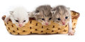 Three newborn kitten in a basket on a white background Royalty Free Stock Photo