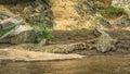 Three Nile crocodiles on the banks of the Mara river, Kenya