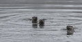 Three North American river otters Lontra canadensis swimming and fishing in the wild.