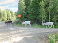 Three northern deer are on a forest road going Stock Images