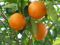 Three orange branch live in the branches of Royalty Free Stock Photo