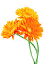 Three orange gerbera flowers Royalty Free Stock Photos