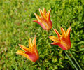 Three orange tulips Royalty Free Stock Photography