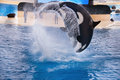 Three orcas whales big grampus is jumping in the swimming pool loro park tenerife canary islands spain outdoors Stock Photos