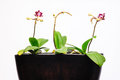 Three orchid plants pot new flower Royalty Free Stock Photo