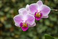 Three orchids in garden Royalty Free Stock Photo