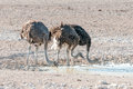 Three ostriches drinking water at a waterhole in Northern Namibi Royalty Free Stock Photo