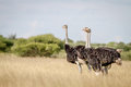 Three Ostriches standing in high grass. Royalty Free Stock Photo
