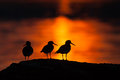 Three oystercatchers in warm sunset light silhouette of midnight sun northern norway Stock Image