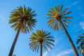 Three palm trees Royalty Free Stock Photo