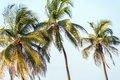 Three palm trees in cartagena colombia Stock Photos