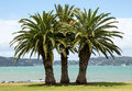 Three palm trees on a grass beach standing like sisters next to blue water lagoon Stock Photo
