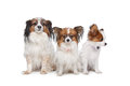 Three Papillon dogs Stock Photos