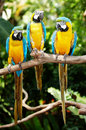 Three parrot in green rainforest. Royalty Free Stock Photography