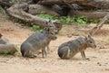 Three Patagonian Hare Or Mara
