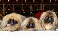 Three Pekingeses. Royalty Free Stock Photo