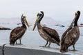 Three pelican sitting on the parapet Royalty Free Stock Photo