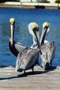 Three pelicans on dock Stock Photos