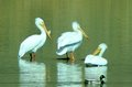Three pelicans and a duck hanging shoreside on the yakima river Royalty Free Stock Images
