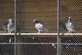 Three pigeons behind netting perpendicular view of calmly sitting in captivity Royalty Free Stock Photo