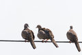 Three pigeons on cables